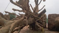 """Kiểm lâm TT-Huế trả lại 2/3 cây """"quái thú"""" cho chủ sở hữu"""