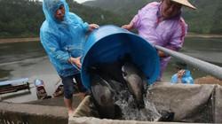 Nuôi cá lăng đặc sản trên núi, lão nông có tiền tỷ mỗi năm