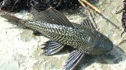 Cá dọn bể vây sắc nhọn, đâm thủng lốp ô tô dân nhậu vừa ăn vừa run