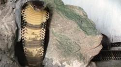 Những loài rắn cực độc ở trại rắn lớn nhất Việt Nam