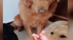 Clip: Chó mẹ nhường đồ ăn cho con khiến hàng triệu người xem rung động