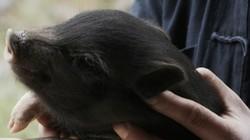 Cận cảnh từ A - Z cách người Mông Hà Giang nuôi lợn đen thảo dược