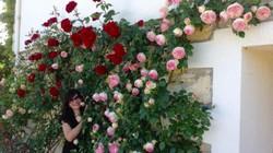 Vườn hồng đẹp như chốn thiên đường ai nhìn cũng mê của mẹ Việt ở Pháp