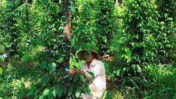 Công nhận giống tiêu mới nông dân tự sản xuất, mọi chỉ tiêu đều vượt
