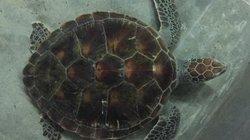 Một con vích khủng quý hiếm nặng gần 10kg được dân giao thả về biển