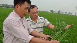 Ở nơi trồng nhiều lúa Nhật nhất Việt Nam, mọi đám cỗ đều thích ăn
