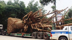 """Vụ 4 xe chở cây """"quái thú"""": Bộ GTVT chưa phát hiện tiêu cực"""