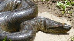 """""""Sát thủ tàng hình"""" rắn khổng lồ ẩn sâu trong rừng rậm Amazon"""