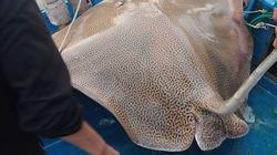 """Mục sở thị """"quái ngư"""" khổng lồ nặng 120kg ở biển Phan Thiết"""
