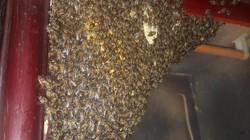 Đàn ong mật nghìn con vào tủ quần áo làm tổ tự nhiên như nhà mình