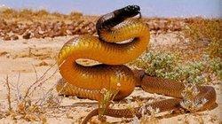 Tiết lộ bất ngờ về loài rắn độc nhất thế giới