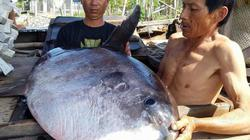 Ngư dân Huế bắt được cá lạ quý hiếm nặng 32kg, chờ thương lái mua