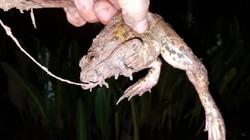 Giật liên tục hàng chục con ếch ở ruộng lúa nhờ tuyệt chiêu này