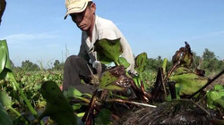 Lần đầu thấy có chuyện trồng dưa hấu trên lục bình ở miền Tây