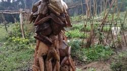 """Người dân miền núi Nghệ An vào mùa săn """"vũ nữ chân dài"""""""