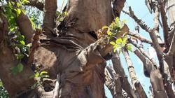 3 cây 'quái thú' vẫn chưa thể rời khỏi địa phận Thừa Thiên-Huế