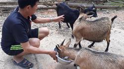 Sơn La: Cấp dê giống cho người dân với giá cao ngất ngưởng