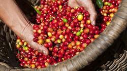 Giá nông sản hôm nay 9/5: Giá cà phê sụt giảm mạnh, giá tiêu giảm nhẹ