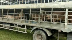 Sốc: Bắt vụ mua 1,3 tấn lợn nhập lậu Trung Quốc về giết mổ kiếm lời