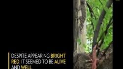 Video: Tắc kè tử chiến với rắn xanh và điều kinh ngạc xảy ra