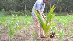 Quảng Ngãi: Kiểm tra thông tin giống dừa xiêm hỗ trợ dân bị chết