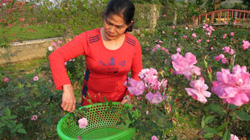 Cô giáo ngày đi dạy, chiều về chăm vườn hoa hồng, nấu tinh dầu thơm để bán