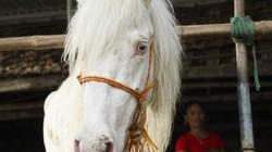 Nuôi bạch mã lên đời đại gia: Bán ngựa mua ôtô tiền tỷ