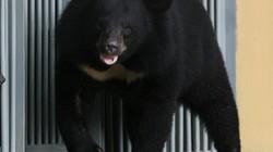 Nuôi chó ngao Tây Tạng 2 năm mới té ngửa ra đấy là gấu