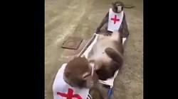 """""""Cười té ghế' xem khỉ khiêng cáng cấp cứu"""