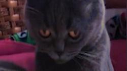 Video: Tò mò ngửi sầu riêng, mèo lăn quay ngất xỉu