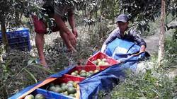 Giá cam sành Vĩnh Long giảm sốc ngay đầu vụ, nông dân lỗ 2.000 đồng/kg