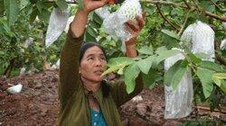 Trồng ổi trái to bự, mỗi cây cho 1,5-2 tạ quả, bán quanh năm, chưa lo ế