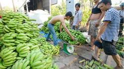 Đắk Lắk: Giấc mơ xuất khẩu tan tành, người trồng chuối lỗ nặng