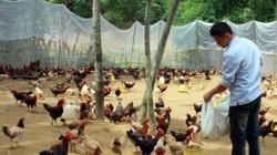 Đặc sản gà Mò nuôi không đủ bán, lập tổ hợp tác cùng nhau sản xuất