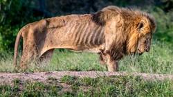 Sư tử chúa gầy trơ xương, đói khát chết gục vì bầy đàn bỏ rơi