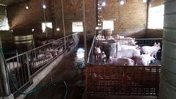 Trại lợn thản nhiên tăng đàn, xả thải mặc hàng xóm kêu than