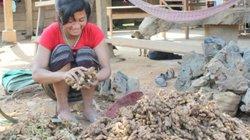 Quảng Trị: Doanh nghiệp nợ tiền mua gừng của dân, xã cầu cứu huyện