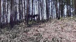 TT-Huế: Dân tố phường thờ ơ trong vụ chiếm đoạt gỗ rừng trồng