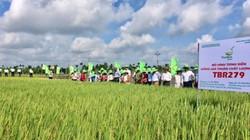 15 năm chọn tạo, TBR279 chứng tỏ là giống lúa vượt trội, gạo ngon