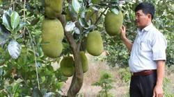 """Mặc mít Thái """"rớt cái bịch"""", vùng hạn trồng vẫn lãi 300 triệu/4ha"""