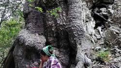 Cây cổ thụ già nhất châu Âu, 1.230 tuổi vẫn không ngừng phát triển