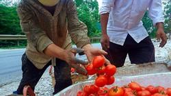 Cà chua Lạng Sơn: Đầu mùa bi đát, cuối vụ lên hương