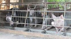 Cơn sốt giá thịt lợn bao giờ dừng lại?
