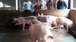 Giá lợn hơi vẫn cao chót vót và chưa có dấu hiệu dừng lại