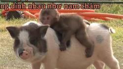 Xúc động câu chuyện khỉ và lợn quấn quýt không rời nhau