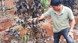 Điều tra thông tin giang hồ phá cây trồng đòi tiền bảo kê