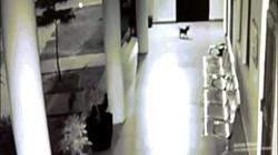 Video: Chó mẹ tử chiến với báo hoa mai để cứu con non
