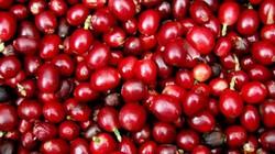 Giá nông sản hôm nay 5/6: Tiếp tục giảm, giá cà phê, giá tiêu khó khởi sắc trong tháng 6