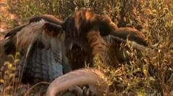 Rắn đuôi chuông kịch độc đi săn mồi, không ngờ làm mồi cho diều hâu