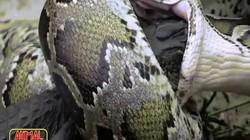 Trăn Miến Điện khổng lồ nuốt chửng cá sấu trong chớp mắt